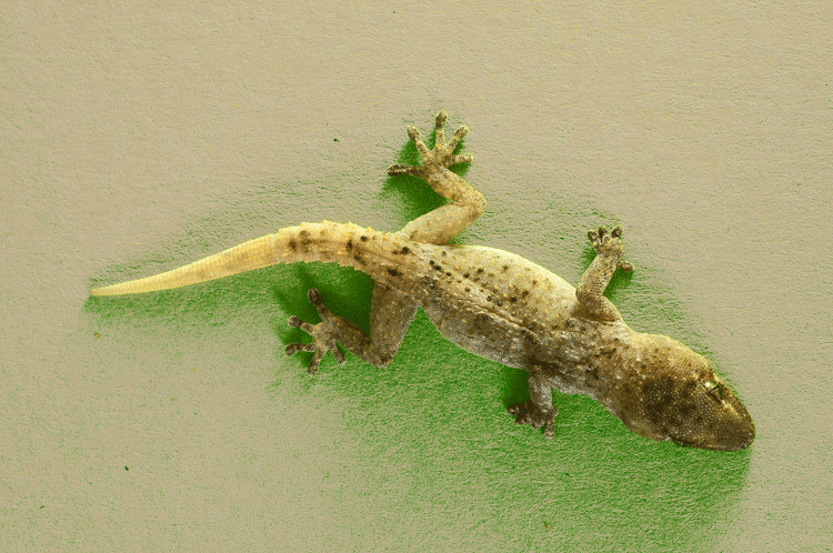 gecko-on-green-wall